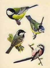 Great Tits (OpiumMeadow) Tags: bird tits greattits