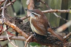 Carolina wren with lunch (cheryl.rose83) Tags: bird wren