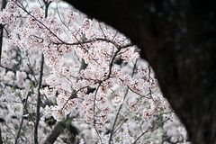Sakura blossoms (Out of Focus [sic]) Tags: tree japan cherry spring blossom sakura kotoura