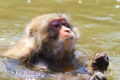 Into the water (Teruhide Tomori) Tags: animal japan monkey kyoto arashiyama  saru  iwatayama  nihonzaru snowymonkey