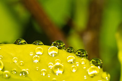 barberry water drops (loco's photos) Tags: plant macro reflection green nature wet water rain yellow outdoors droplets leaf drops bush pentax petal dew refraction kr barberry panagor9028