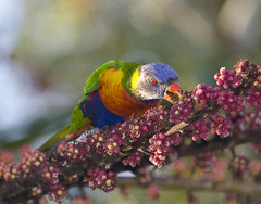Rainbow Lorikeet (Nolan White) Tags: red bird birds wildlife lorikeet australia queensland newsouthwales rainbowlorikeet tweed birdphotography tweedheads northernrivers nolanwhite nolanwhitephotography northernriverstweedheads