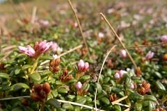 Alpine flowers (Monalisi) Tags: flowers mountains alps flower macro green nature austria österreich flora purple blossom blumen berge vegetation alpen niederösterreich loweraustria stuhleck