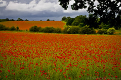 Poppy Fields (Explored!) (JRT ) Tags: flowers trees rain clouds nikon windy stormy fields poppyfields poppys westmidlandssafaripark bewdley stourportonsevern d300s blackstonenaturereserve johnwarwood