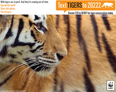 Siberian Tigers: Fewer Than 500 in the Wild (World Wildlife Fund) Tags: beautiful cat tiger species endangered siberian striped wwf worldwildlifefund