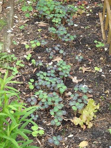 Nasturtium Patch In Progress