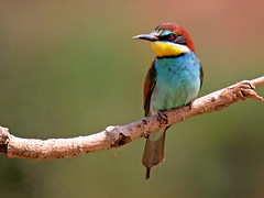 Abejaruco común (Merops apiaster) (eb3alfmiguel) Tags: aves abejaruco insectívoros pájaros