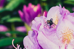 Rhododendrons and Fly (Royston_Kane) Tags: flowers flower backyard bee 105mm kenko nikond800 nikon105mmf25ai