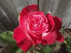 Spring Rose (michael_odman) Tags: pink white flower rose oregon fence garden spring miltonfreewater