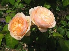 Rose 'Sweet Juliet' at Christopher's, 9th June 2011 (jrcollman) Tags: plants gardens places archived importedtags rplant rosesweetjuliet christophers2baringcrescentexeter bestfordisplayxmas2012 jeffs31stmayto13thjune2011