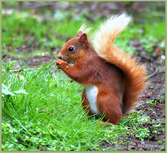 Red Squirrel at loch of the lowes (eric robb niven) Tags: scotland spring raw dundee wildlife ngc dunkeld redsquirrel pentaxkx springwatch ericrobbniven