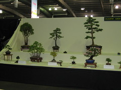 CBS display 2 (Bonsaigirl) Tags: scotland display gardening bonsai caledonian 2013