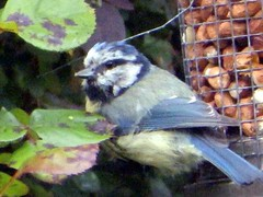 17th Jun 13 Blue Tit  peanut moment (Cardedfolderol) Tags: birds bluetit gardenbirds