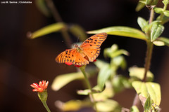 Monarch Butterfly (Luiz | ClickItatiba) Tags: nature colors canon butterfly 50mm natureza borboleta monarch monarca t4i