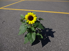 DSC00220 (Andre Vautour) Tags: sunflower gardencentre