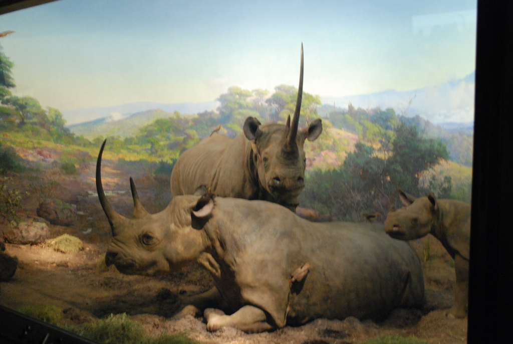Rhino At The American Museum Of Natural History Nyc