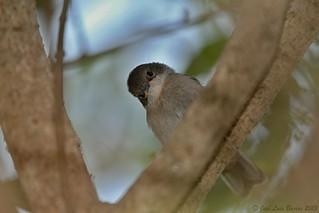 Toutinegra-dos-valados / Sylvia melanocephala / Sardinian warbler (Juv)