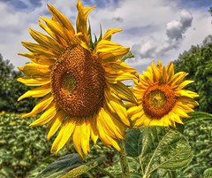 McKee-Beshers Sunflower fields 7-8-13 (Forsaken Fotos) Tags: