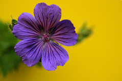 Geranium Magnificum with a yellow background (pollylew) Tags: flower garden geranium cranesbill hardygeranium