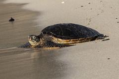 Sea turtel Oahu Hawaii (akunz78) Tags: usa strand hawaii sand meer foto fotografie oahu urlaub insel ferien tier reptil schildkrte pazifik inseln meeresschildkrte farbbild