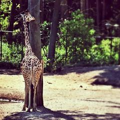 Hide and seek (jose.ververda) Tags: zoo arnhem giraffe burgerszoo uploaded:by=flickrmobile flickriosapp:filter=nofilter