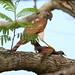Harris's Hawk - 2nd Place - Fauna - Ryan Weishalla