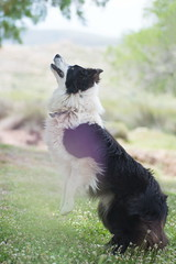 Focused (fewfires) Tags: dog nature smart jump jumping play action joy running bordercollie fever wheelie