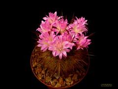 Neoporteria nigrihorrida 2 (Nyxtofulakas) Tags: summer cactus flower nature succulent spines eriosyce subgibbosa neoporteria nigrihorrida