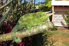 yard guest (BarryFackler) Tags: life house tree home nature ecology animal fauna yard outdoors island hawaii polynesia backyard reptile being branches tail horns neighborhood lizard tropical bigisland creature biology cha