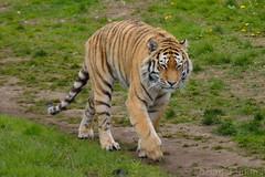 Amur Tiger (Bri_J) Tags: zoo nikon tiger bigcat doncaster pantheratigrisaltaica amurtiger wildlifepark ywp d3200 sideriantiger yorkshirewildlifepark