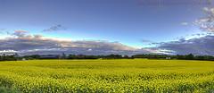 Yellow Fields (Muzammil (Moz)) Tags: reflections landscape muzammilhussain canon70d andertoncanal canon815mml moz8763gmailcom