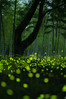 Firefly Dance (m.hamajima) Tags: pentax firefly k3 蛍 fa50mmf14 ホタル ほたる ヒメボタル