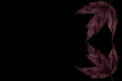 Red Maple Leaf (KellarW) Tags: autumnleaf autumn singleleaf memeable mapleleaf autumnleaves leaf isolatednature autumnalcolors autumnal fall autumnalleaf red meme leaves autumnalleaves redleaves fallcolors fallleaf onblack rightoffset redmapleleaf brownleaf colorfulleaf negativespace isolated redleaf fallleaves colorfulfoiliage