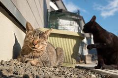 (GenJapan1986) Tags: 2016          miyagi island nonoshima japan cat animal fujifilmx70