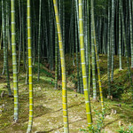The bamboo forest from the Tenryu-ji's side, was much greener! thumbnail