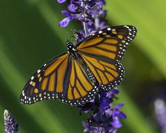 Monarch_SAF2936 (sara97) Tags: butterfly copyright2016saraannefinke flyinginsect insect missouri monarch monarchbutterfly nature outdoors photobysaraannefinke pollinator saintlouis towergerovepark urbanpark danausplexippus