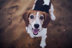 Oliver (Bhumika.B) Tags: dog love cute adorable emotion happy beagle animal morning beach beachbum tamilnadu madras sea
