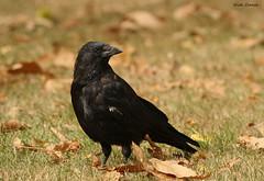 Carrion Crow (NickNineFingers) Tags: carrion crow bird black beak canon 2016 feathers fall autumn park greenwich