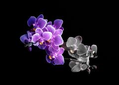 purple orchid (Mange J) Tags: fs160925 k3ii magnusjakobsson pentax sverige sweden tamronspaf90mmf28 vrmland art bw beauty black blackandwhite flover fotosondag gillalila life lila nature orchid pentaxart photoshop purple studio vrmlandsln se