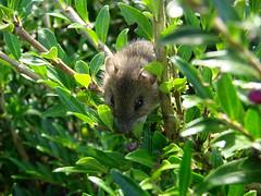 etwas ist im Busch... (Gnter Hickstein) Tags: maus zwergmaus mice mouse micromysminutus uelzen gnterhickstein sugetier makro macro wild animal tier wildtier dwarf