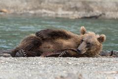 Bear - not sleeping (swissgoldeneagle) Tags: fderationskreisfernerosten kamchatka d750 kurilensee russia liegend  kurilelake laying  kamtschatka fareasternfederaldistrict  russland  regionkamtschatka ru