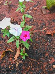 20161025_185537_HDR (Rodrigo Ribeiro) Tags: garden gardening jardim jardinagem flor flower nature natureza