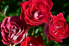 Roses (Sandra Kirly Pictures) Tags: roses flowers flower outdoor nature budapest hungary red