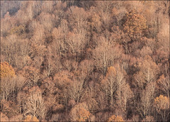 autumn trees (doddsjzi) Tags: trees deciduoustrees autumntrees treesonmountainsidelosingleaves