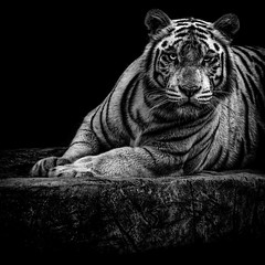 White Tiger (38frames) Tags: monochromatic blackandwhite tiger published 2015 captivity smugmug animal whitetiger monochrome final singapore zoo bw december places captive sg