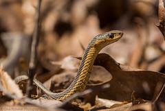 Sneaky Snake (PrettyCranium) Tags: snake snakes animal animals nature wildlife canada garter herp reptile