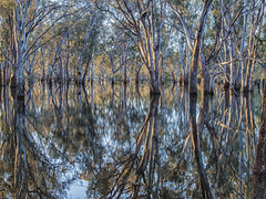 "Corowa Flooded Forest 2 • <a style=""font-size:0.8em;"" href=""http://www.flickr.com/photos/141572193@N06/30057214750/"" target=""_blank"">View on Flickr</a>"
