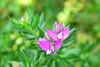 Polygala Myrtofolia (RobW_) Tags: polygala myrtofolia flower tsilivi zakynthos greece saturday 29oct2016 october 2016
