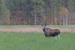 Eland - Moose (Thijs de Bruin) Tags: norway noorwegen moose eland tolga