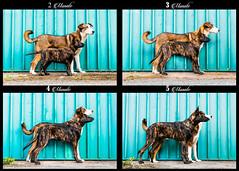 2-5 months (Maria Zielonka) Tags: vergleich hund hunde dog dogs hollandse herdershond herder holländischer schäferhund schäferhundmix puppy puppies welpe welpen champ daemon vom flensburger land